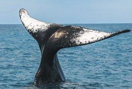 Expedice k souostroví Abrolhos aneb Za keporkaky v brazilských vodách