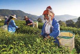 Pěstování čaje se rozmohlo počátkem 90. let, kdy ho různými programy začala podporovat vláda
