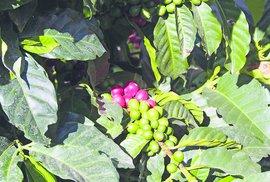 Od roku 1982 se smí z Kostariky vyvážet výhradně arabica