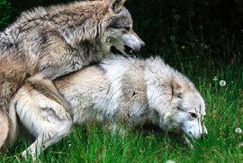 Vlci na Třeboňsku se rozmnožili. Mají až pět mláďat