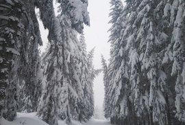 Nebezpečná krása. Šumavské stromy jsou obalené těžkým sněhem.