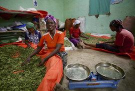 Moringa olejodárná – etiopský diamant Čechy broušený
