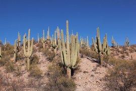 Gigantické kaktusy saguaro se dožívají až 200 let a dorůstají výšky až 15 metrů