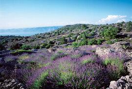 Chorvatský ostrov Hvar je domovem nejvoňavější levandule v celém Středomoří