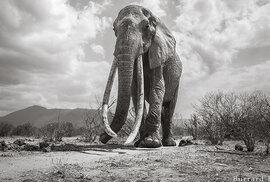 Dojemné poslední snímky sloní královny s kly až na zem. Podobných už žije jen kolem 20 jedinců