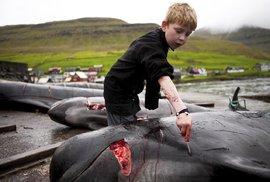 Tradiční lov a zabíjení velryb na Faerských ostrovech.