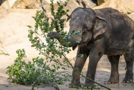 Pražská ZOO slaví: Slonice Gulab, druhé nejstarší zvíře v zahradě, slaví šedesáté …