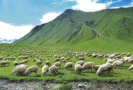 Stádo ovcí nazelených svazích Kavkazu