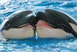 Zvířecí láska v ZOO: Video vůbec poprvé zachytilo, jak se dvě kosatky líbají