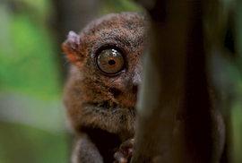 Fascinující fauna filipínského souostroví: Okatí skřítci z Čokoládových kopců