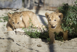 Lví radost ve Dvoře Králové: V tamním Safari Parku se po třiceti letech narodila vzácná lvíčata