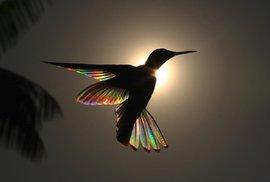 Okřídlená duha z těl kolibříků: Tohle není Photoshop, ale příroda v celé své kráse