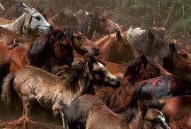 Obrovské stádo nezkrocených koní směřuje z hor dolů do vesnice Sabucedo.