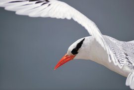 Elegantní faeton červenozobý se vyznačuje jasně červeným zobákem a dlouhými ocasními pery.