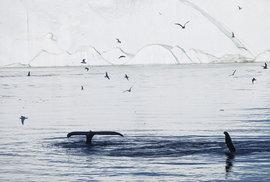 Velryby tu loví vprůběhu celého dne, takže je chodíme pozorovat afotografovat, kdy se nám zamane