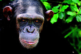 Keňská záchranná stanice Sweetwaters: Domov šimpanzů, ve kterém se zotavují ze svých zážitků s lidskou krutostí