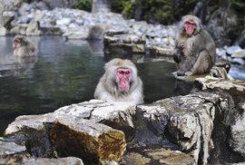 Onsen Jigokudani v prefektuře Nagano milují makakové
