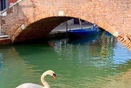 Na jindy rušné ulici nikde ani živáčka, ideální příležitost pro schůzku labutí.