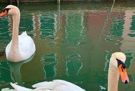 Labutě kanálům sluší zaručeně víc, než salvy hlučných turistů v gondolách.