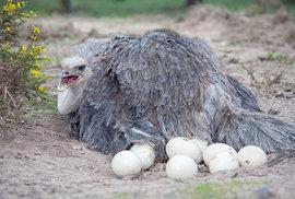 Samice pštrosa dvouprstého kladou vejce do společného hnízda, kde se o ně stará samec