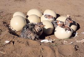 Pštrosí vejce váží až 1600 gramů a má velmi silnou a tvrdou skořápku
