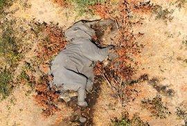Záhadné vymírání slonů v Botswaně: Za poslední dva měsíce bylo nalezeno více než 350 těl