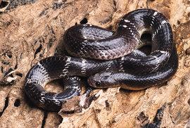 Bungar modravý (Bungarus caeruleus) je jedním ze čtyř nejnebezpečnějších indických hadů