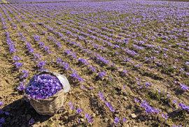 Slavnosti šafránové růže: Asi jediné slavnosti ve Španělsku, při nichž nejde jen o…