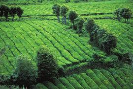Čínský poklad v Evropě aneb Za čajovými plantážemi na Azorské ostrovy
