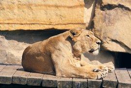 Pozvěte lva naoběd: Zoologické zahrady hledají cestu zfinanční tísně