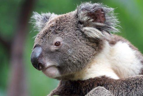 """Podivná zvířata: """"Medvídci"""" koala mají nebezpečný jídelníček"""