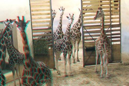 Dlouhonohé fotomodelky: Jak jsme fotili žirafy ve 3D
