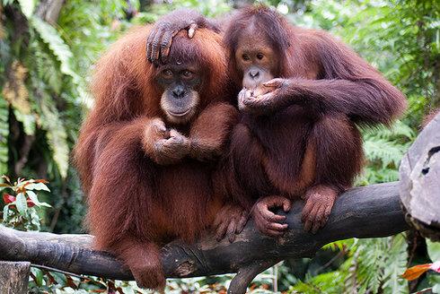 Nově objevení orangutani mají naději