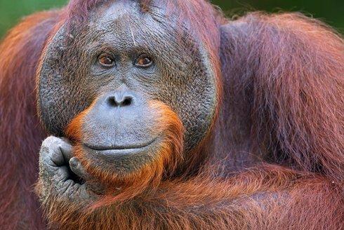 Inteligenti z ostrovů: Kalendář orangutaních samců