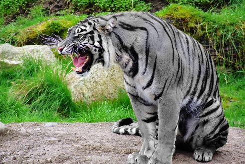 KočkaZvíře. Tygr, Velká Kočka, Panthera Tigris.