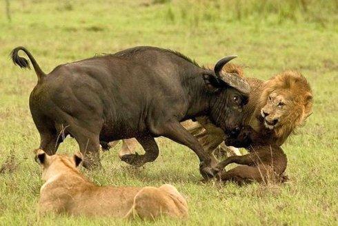Lvi versus buvoli: Dokud stojí, žije
