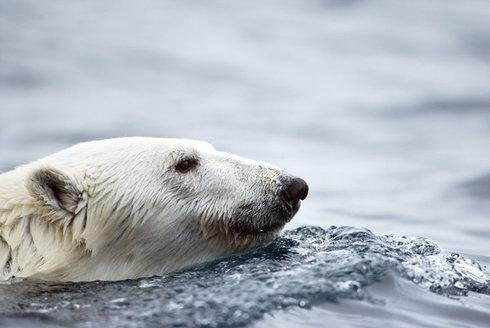 Lední medvědi: Nesnadný život v bílé pustině