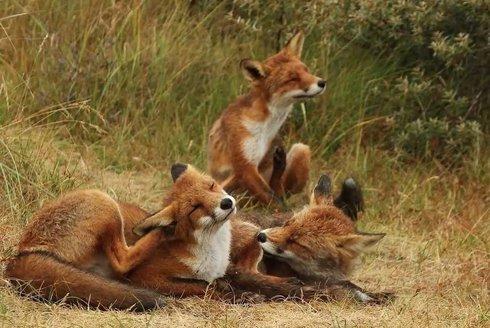 Šakal nebo liška? Dočkáme se šakala i u nás?