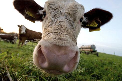 Jak se dojí mléko? Ručně už ne