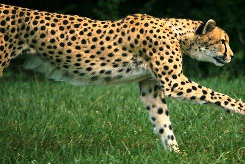 Posledních 50 sprinterů: Gepard indický v ohrožení