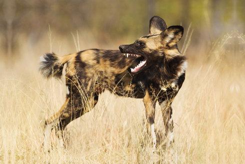 Dobrý lov! Psi hyenovití opisují od gepardů
