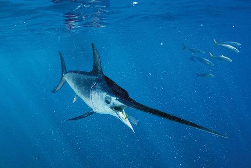 Plavec s mečem: Tajemství nejrychlejší ryby