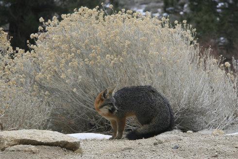 Liška, která šplhá jako kočka