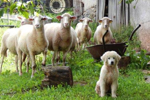 Stateční ochránci stád: Ovčáčtí a pastevečtí psi