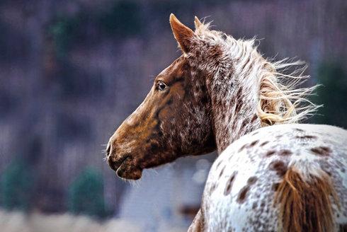 Strakatí vs. jednobarevní: Barvu koní určovala móda