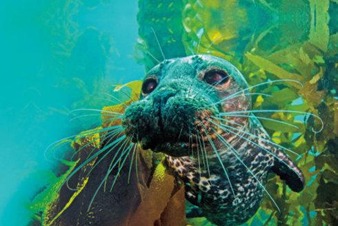 Šelmy s ploutvemi: Tuleni cítí, jak ryba dýchá