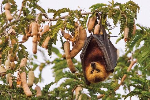 Válka s kaloni: Plodožravci v ohrožení