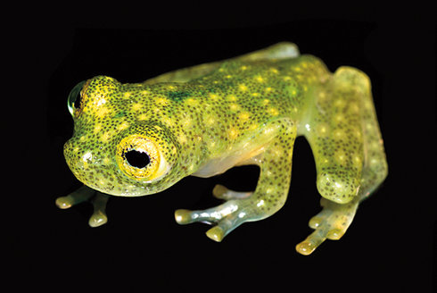 Průhledná žába vystavuje srdce