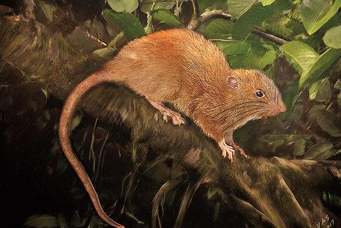 Kokosová krysa: Půlmetrový obr z Šalamounových ostrovů