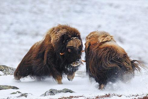 Nebezpečný výzkum: Vědec v medvědí masce